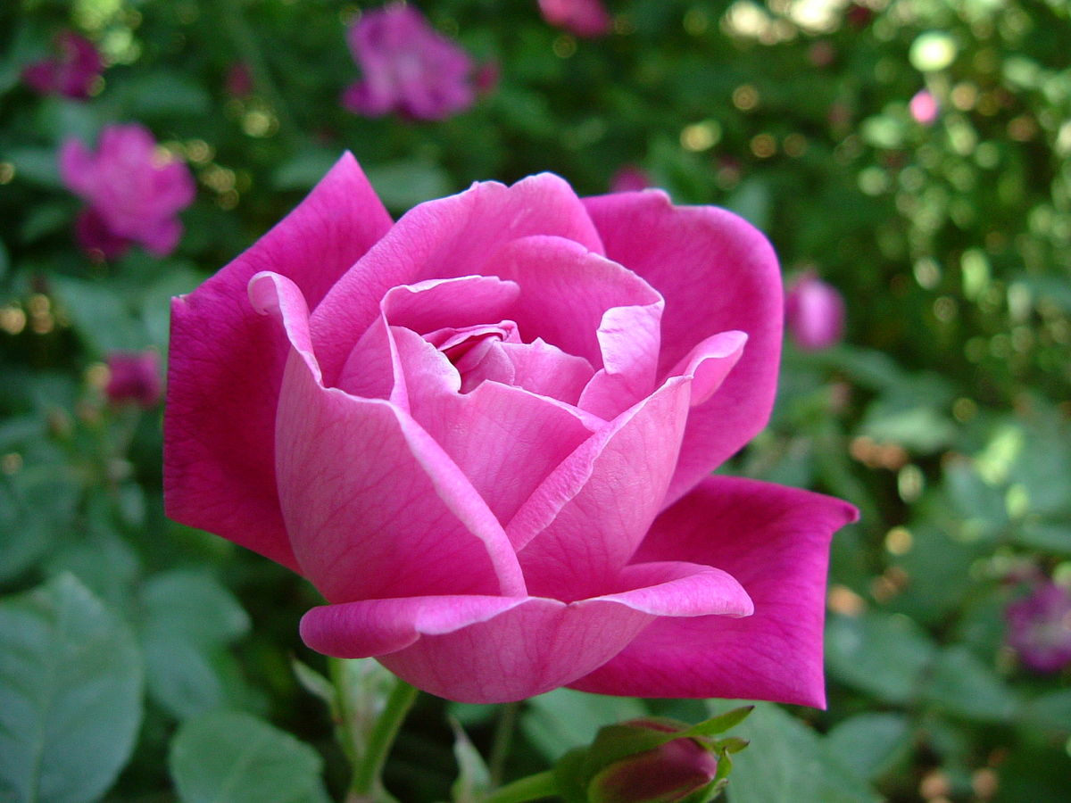 1200px-Rosa_chinensis